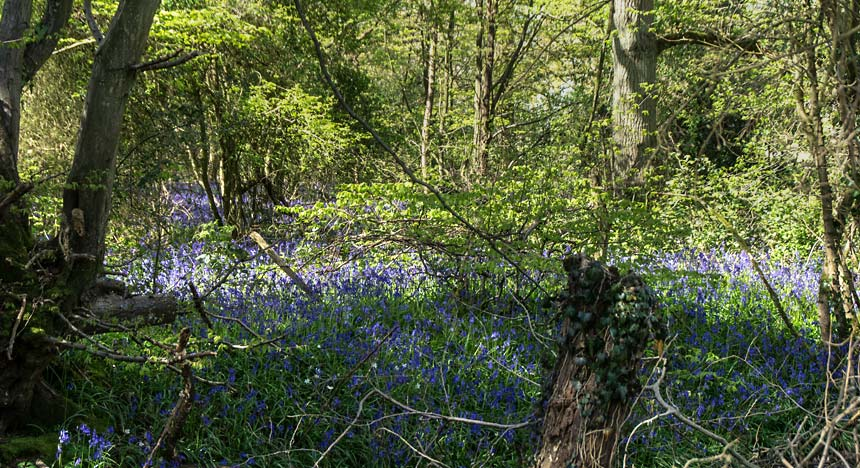 Bluebells in Dering Woods